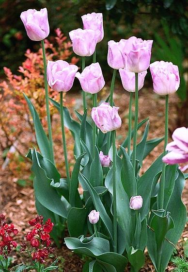 Tulipa - grands hybrides - tulipes chics et kitch (sections 1 à 11) 10414299.6417d0dc.560