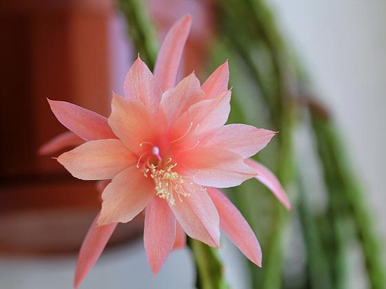 Disocactus (= Aporocactus) - le genre 10414380.245a83d3.560