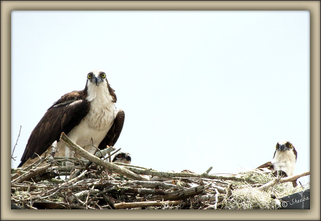The Osprey Family is home ..
