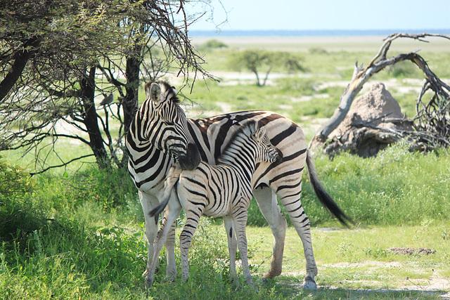 Zebras im Etosha-Park/Namibia