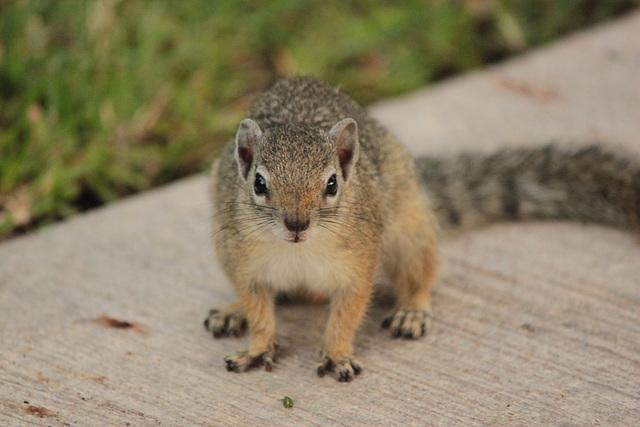 Afrikanisches Eichhörnchen in Namibia