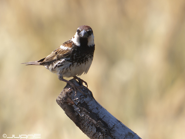 Gorrión moruno (Passer hispaniolensis) (♂)