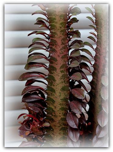 Euphorbia trigona 'Rubra' (3)