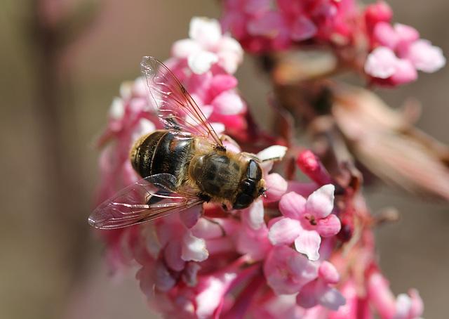 Eristale- mouche à fleur (2)