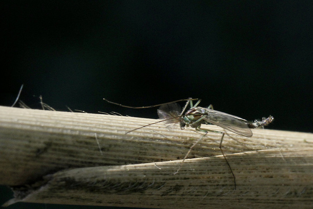Suis pas un moustique....!