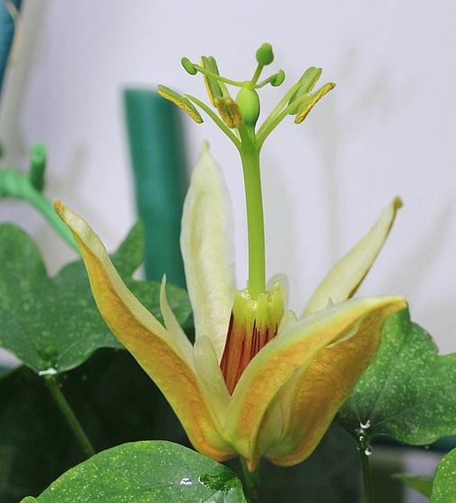 Passiflora aurantia - bouton [devinette] 10395029.84f4a8af.560