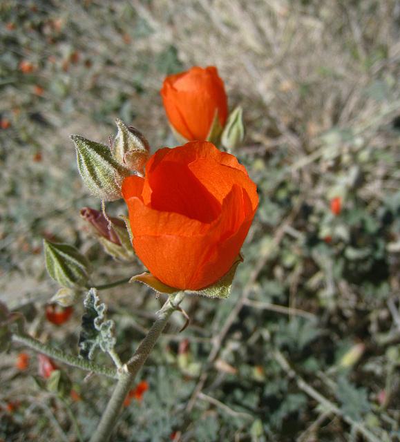 Desert Mallow (6316)