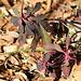 Euphorbia amygdaloïdes (2)