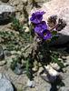 Flower in Mecca Hills (6313)