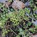 Galium rotundifolium
