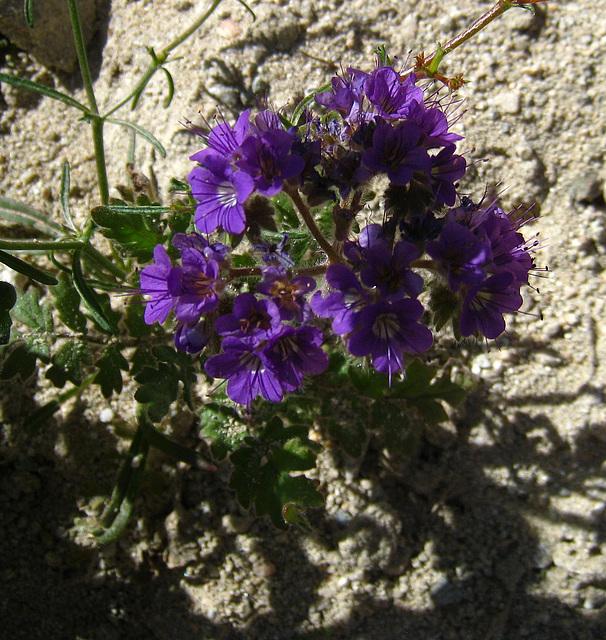 Flower in Mecca Hills (6324)