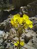 Flower in Mecca Hills (6331)