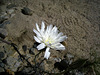 Flower in Mecca Hills (6333)