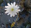 Flower in Mecca Hills (6334)