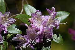 20110429 1439RAfw Rhododendron