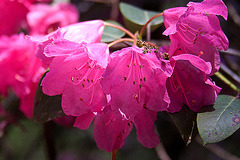 20110429 1437RAfw Rhododendron