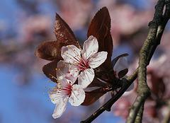 Cerisier rose