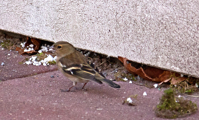 20110402 0484RAw [D~SHG] Buchfink [w] (Fringilla coelebs), Bad Nenndorf
