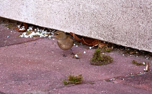 20110402 0481RAw [D~SHG] Buchfink [w] (Fringilla coelebs), Bad Nenndorf