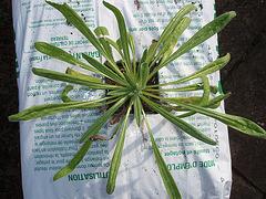 echium vulgare P3120772