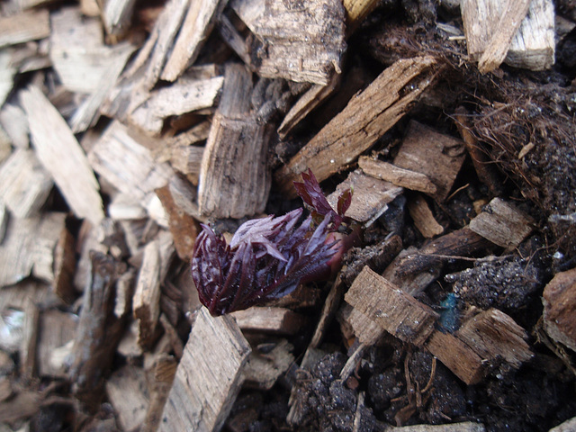 Cimicifuga racemosa atropurpurea P3120789