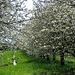 Kirschbäume -  cerisiers - cherry trees