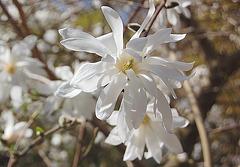 stelomagnolia florado