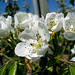Kirschblüte -  fleur de cerisier - cherry blossom
