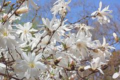stelmagnolia florado antaŭ blua ĉielo