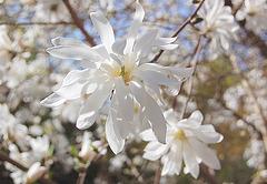 florado de stelomagnolio