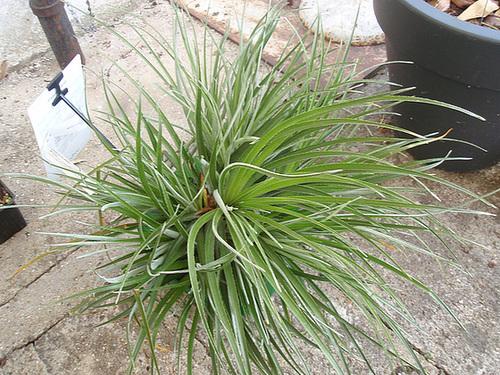 fascicularia bicolor P5081604