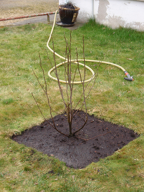 magnolia loebnéri 'léonard messel' P3140179