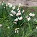 Narciises de l'enclos aux Paons