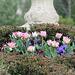 jolies tulipes roses