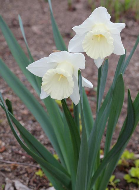 Narcisses trompettes blancx