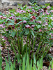 Hellébore orientale hybride