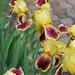 Iris ancien- 'Burlesque ' ?