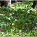 Tulpen im Hofgarten