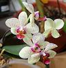 Phalaenopsis hybride