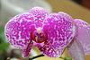 "Phalaenopsis hybride ""Wild Thing"""