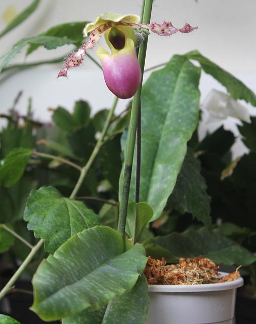 Paphiopedilum (Glaucophyllum x primulinum)