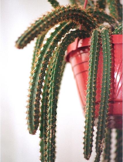Disocactus (= Aporocactus) - le genre 10416464.5d8a6090.560