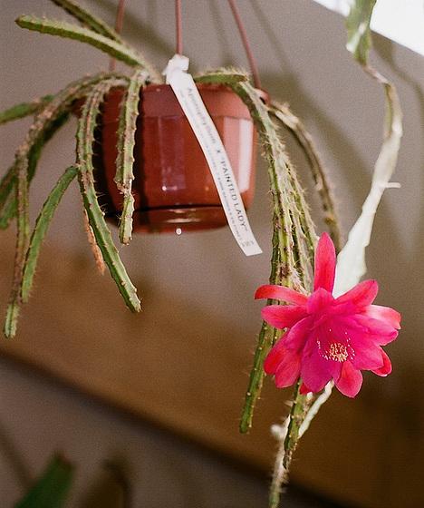 Disocactus (= Aporocactus) - le genre 10416466.c69e8a27.560