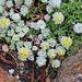 """Sedum spathulifolium """"cape blanco""""en fleur"""