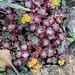 Sedum spathulifolium en fleur