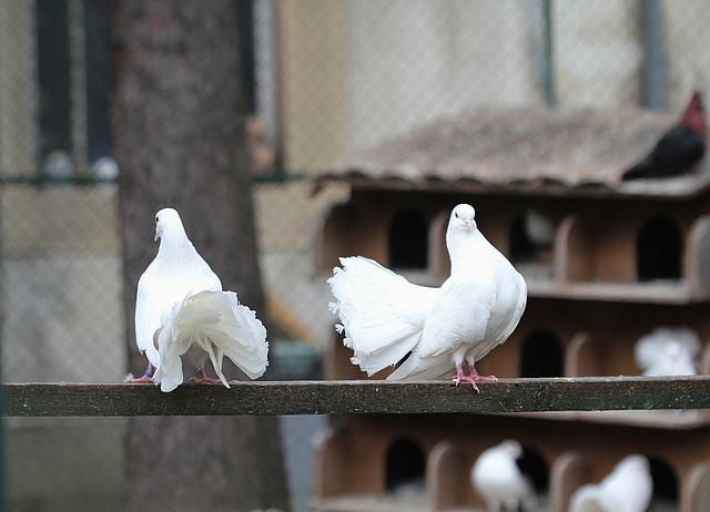 Pigeons paons