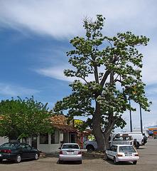Catalpa in Big Pine (2319)