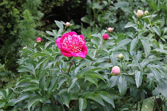 Paeonia - pivoines herbacées 10606544.cdb2a069.560