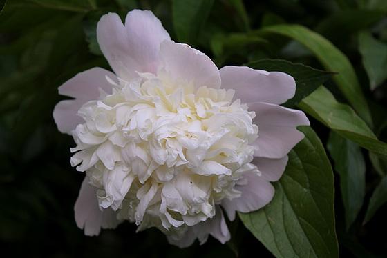 Paeonia - pivoines herbacées 10606548.f5781227.560