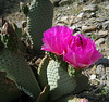 Great Outdoors Hike To The Grottos In Mecca Hills - Cactus Flower (6394)